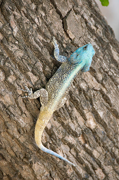 Древесная агама (Acanthocercus atricollis)