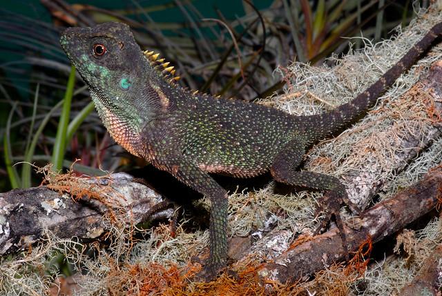 Акантозавр горный (Acanthosaura capra)