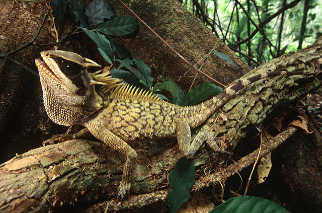 Акантозавр кардамонский (Acanthosaura cardamomensis)