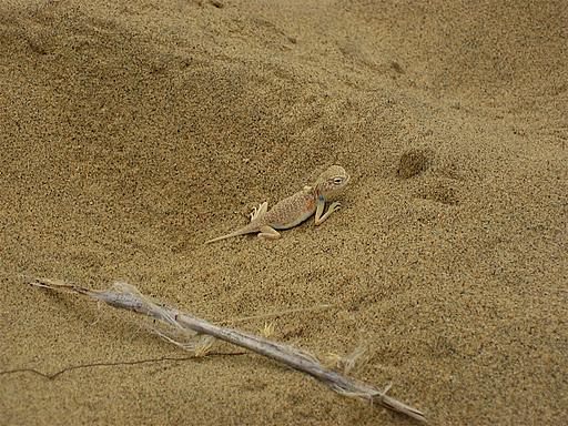 Жабовидная агама (Bufoniceps laungwalensis)