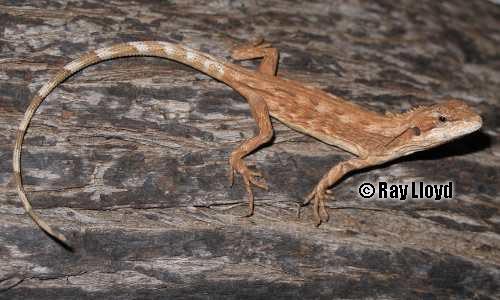 Каймановая агама (Caimanops amphiboluroides)