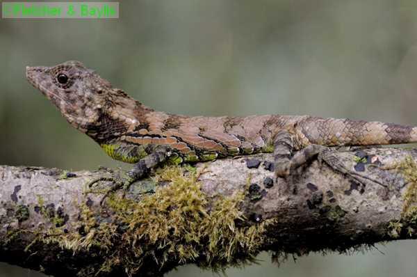 Рогатая агама Эрделена (Ceratophora erdeleni)