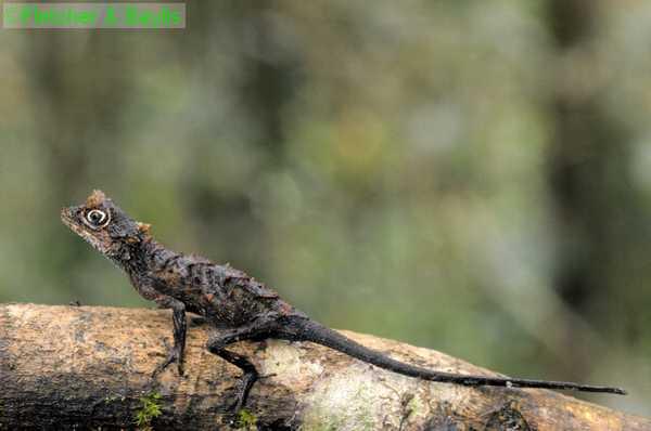 Драгоценная рогатая агама (Ceratophora karu)