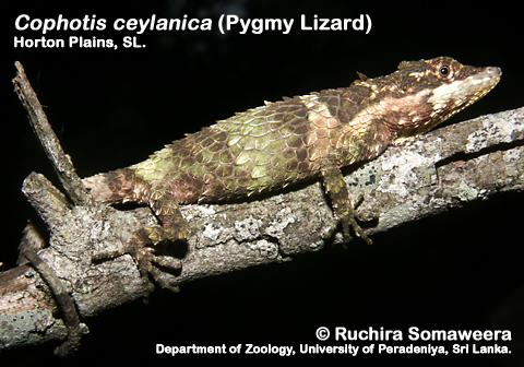 Цейлонская живородящая агама (Cophotis ceylanica)