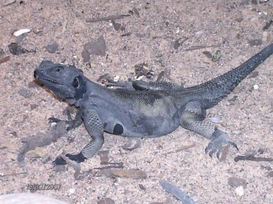 Чёрная горная агама (Laudakia melanura)