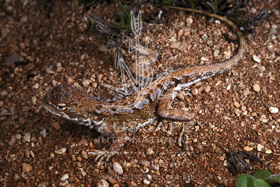 Австралийская скрытоухая агама (Tympanocryptis parviceps)
