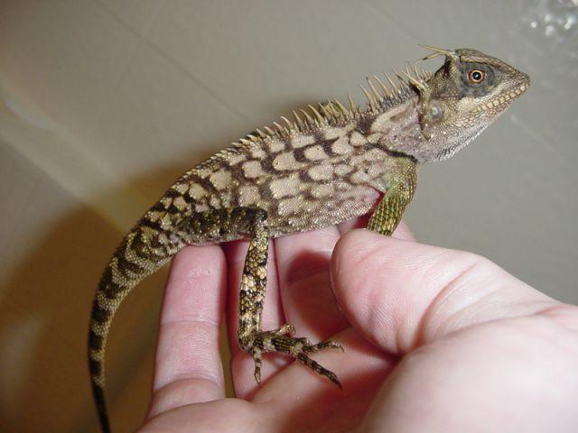 Акантозавр вооружённый (Acanthosaura armata)