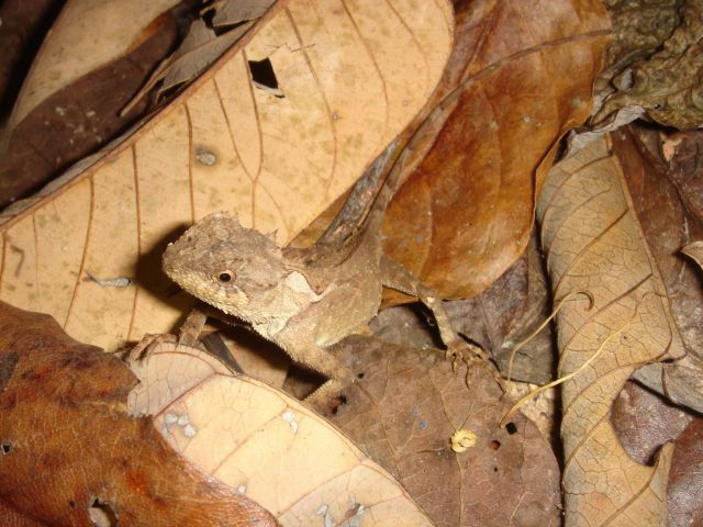 Акантозавр коричневый (Acanthosaura lepidogaster)