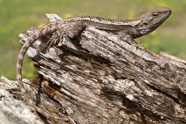 Амфиболюрус конический (Amphibolurus muricatus)