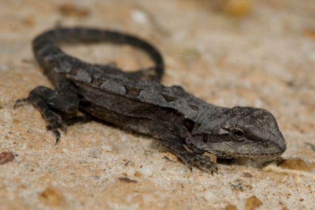Amphibolurus norrisi