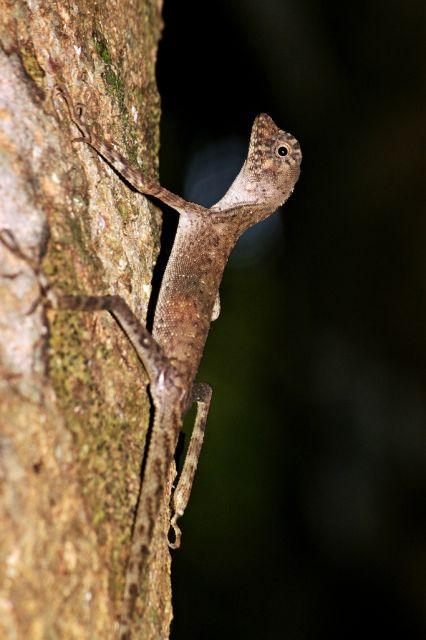 Коричневая базухая агама (Aphaniotis fusca)