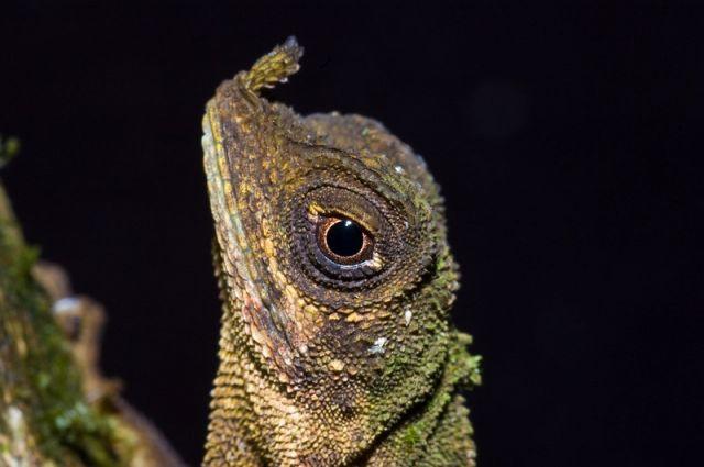 Украшенная безухая агама (Aphaniotis ornata)