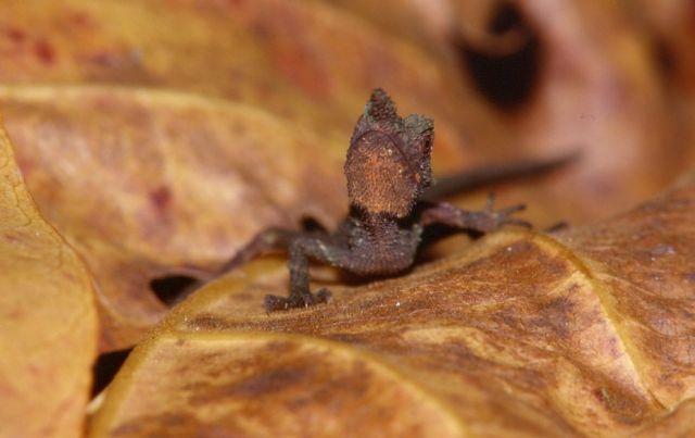 Грубая рогатая агама (Ceratophora aspera)