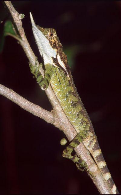 Рогатая агама Стоддарта (Ceratophora stoddartii)