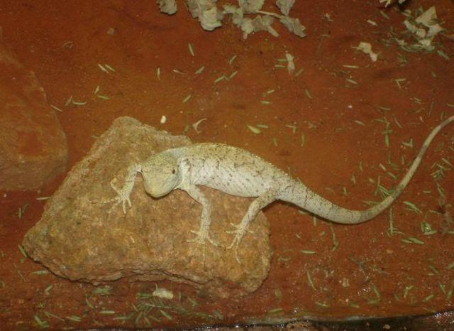 Австралийская хелозания (Chelosania brunnea)