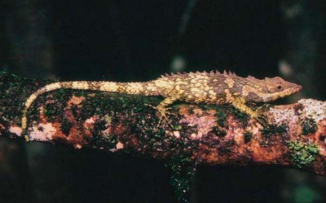 Думбарская живородящая агама (Cophotis dumbara)