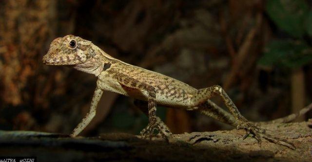 Гребенчатый лесной дракон (Coryphophylax subcristatus)