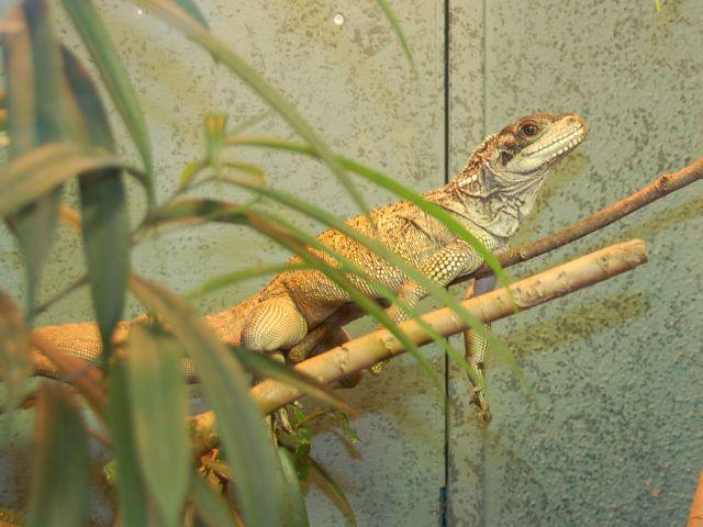 Амбойнская парусная агама (Hydrosaurus amboinensis)