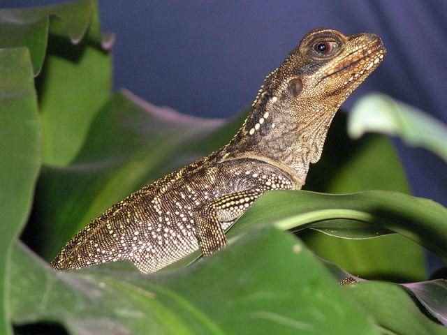 Парусная агама Вебера (Hydrosaurus weberi)