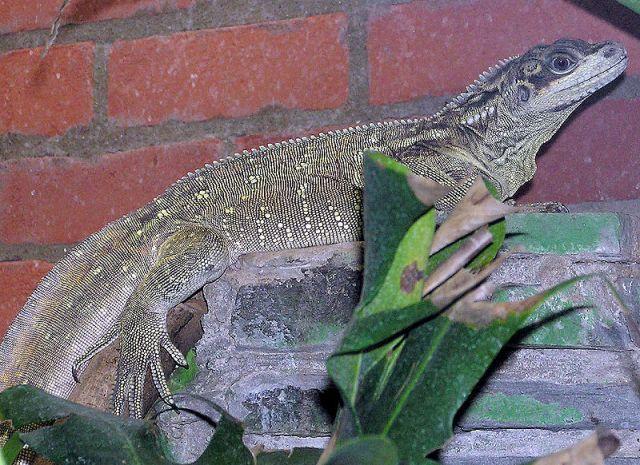 Филиппинская парусная агама (Hydrosaurus pustulatus)