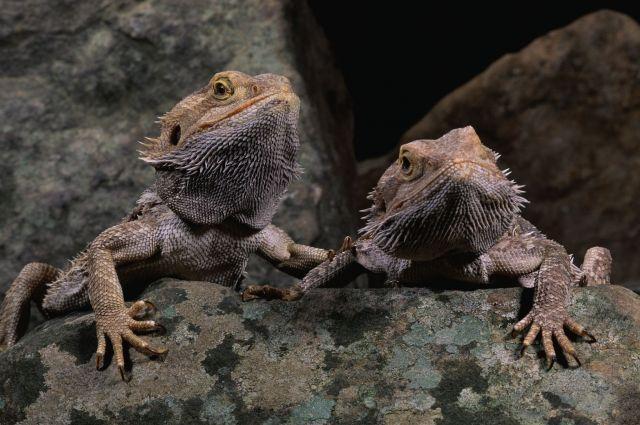 Пара взрослых бородатых агам (Pogona vitticeps)