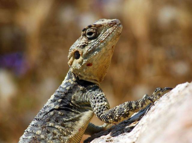 Филогения и биогеография агамовых ящериц
