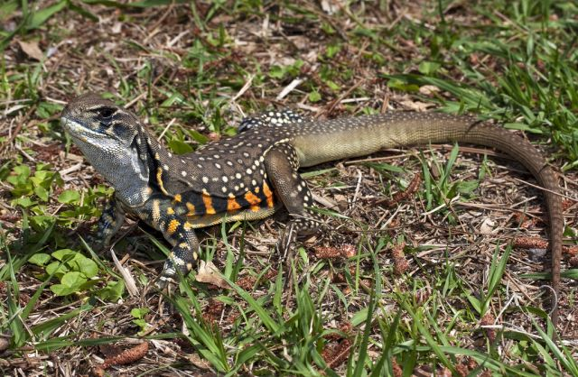 Агама-бабочка (Leiolepis belliana)