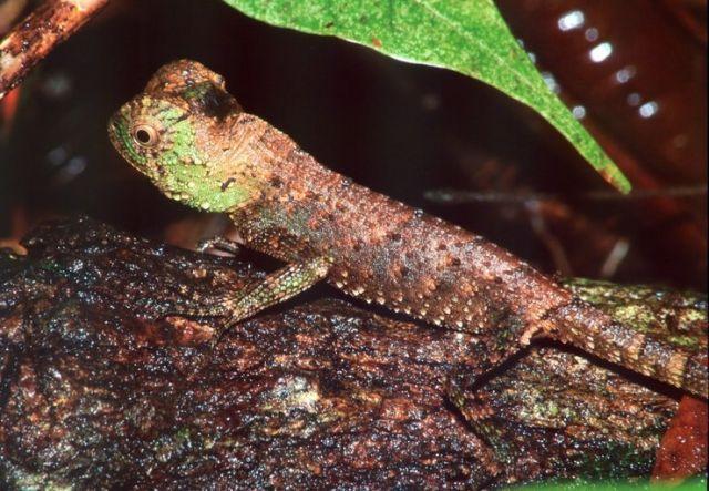 Шишконосая агама (Lyriocephalus scutatus)