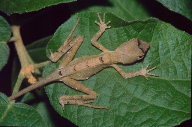 Равнинная скрытоухая агама (Otocryptis nigristigma)