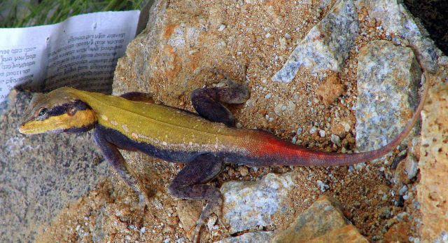Индийская горная агама (Psammophilus dorsalis)
