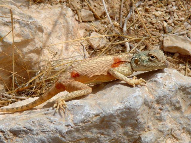 Синайская агама (Pseudotrapelus sinaitus)