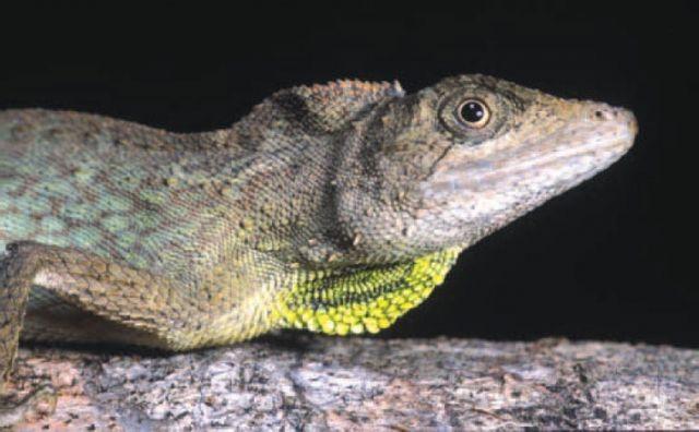 Ассамская агама (Ptyctolaemus gularis)