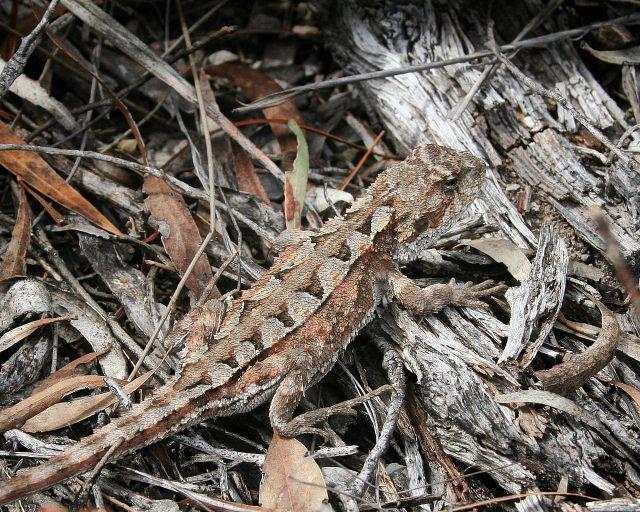 Горный дракон – ранкиния (Rankinia diemensis)