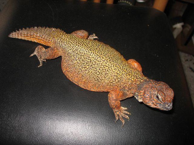 Западный шипохвост (Uromastyx acanthinurus)