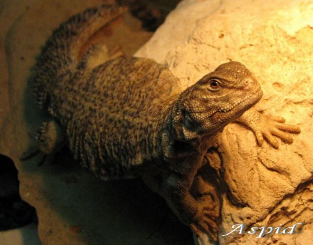 Южно-сахарский шипохвост (Uromastyx dispar)