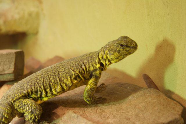 Сахарский шипохвост (Uromastyx geyri)