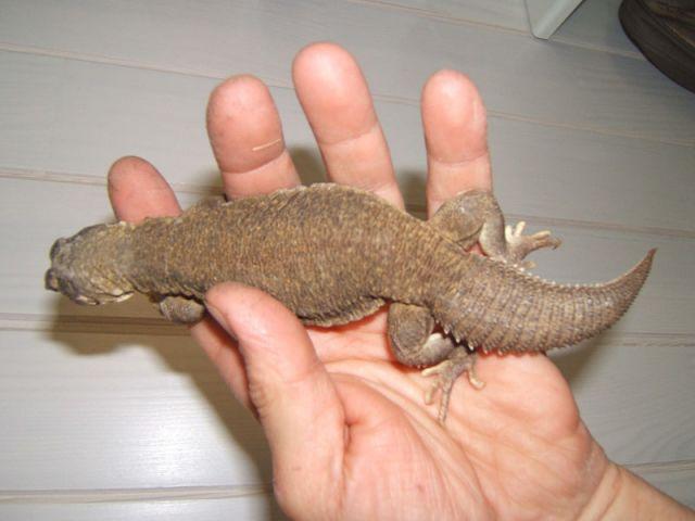 Индийский шипохвост (Uromastyx hardwickii)