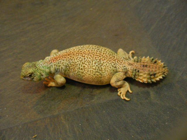 Оманский шипохвост (Uromastyx thomasi)