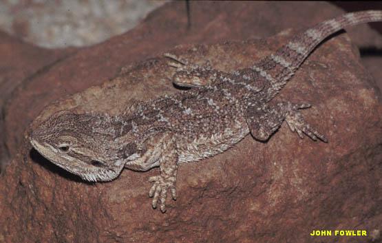 Налларборская агама (Pogona nullarbor)