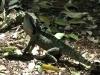 Австралийская водяная агама в природе