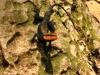 Взрослый самец песчаной агамы Блэндфорда
